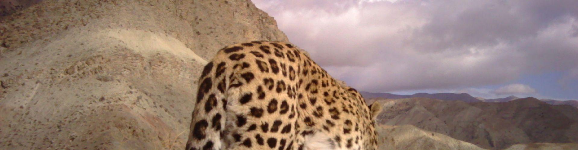 persischerleopard1